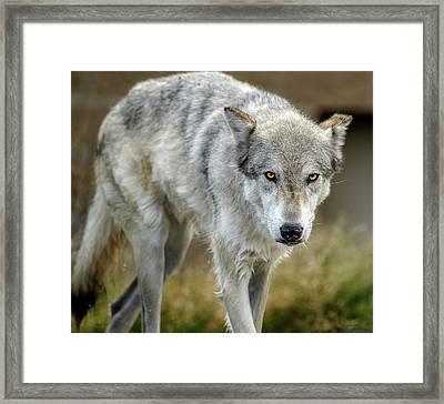 The Grey Wolf Shake Framed Print