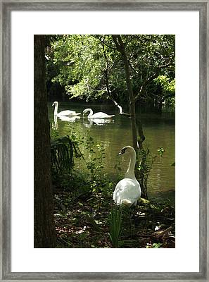The Guard Swan Framed Print