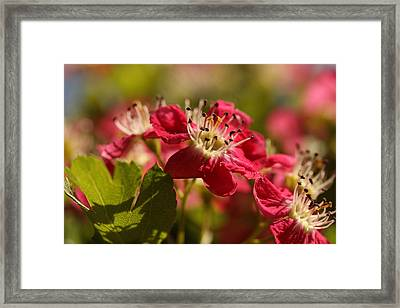 The Happy Hawthorn Framed Print