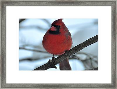 The Haughty Cardinal Framed Print by Healing Woman