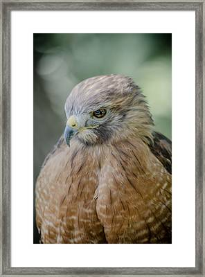 The Hawk Framed Print by David Collins