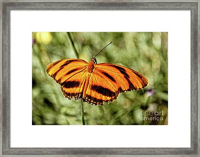 The  Heliconian Butterfly Framed Print by Robert Bales