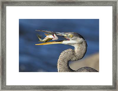 The Heron And The Perch Framed Print