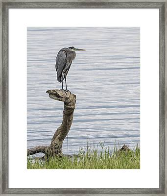 The Herons Pearch  Framed Print
