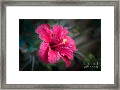 The Hibiscus Framed Print by Robert Bales