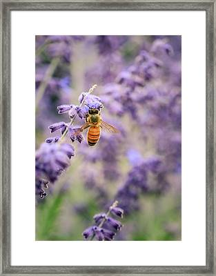 The Honey Bee And The Lavender Framed Print