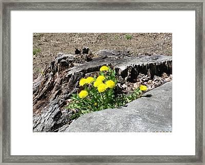 The Humble Dandelion Framed Print
