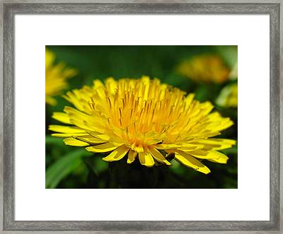 The Humbled Dandelion Framed Print by Juergen Roth