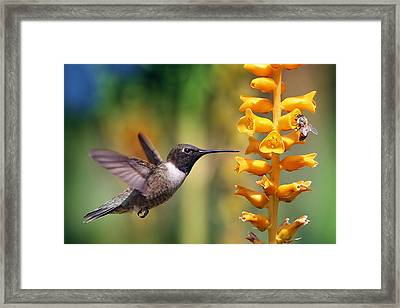 The Hummingbird And The Bee Framed Print
