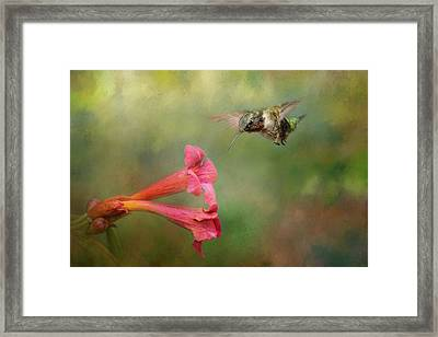 The Hummingbird And The Trumpet Flower Framed Print