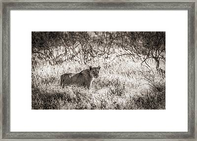 The Huntress - Black And White Lion Photograph Framed Print