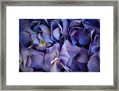 The Hydrangea Framed Print by Karen Scovill