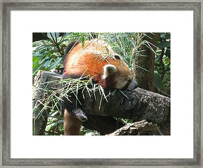 The Infamous Red Panda Framed Print by Eliot LeBow