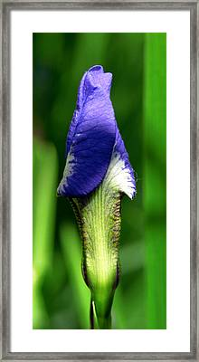 The Iris Framed Print by Winona Steunenberg