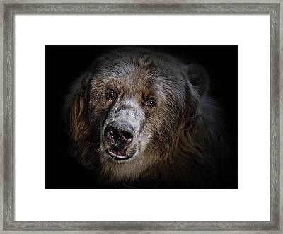 The Kodiak Bear Framed Print by Animus Photography