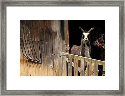 The Llama Barn Framed Print by Diana Angstadt