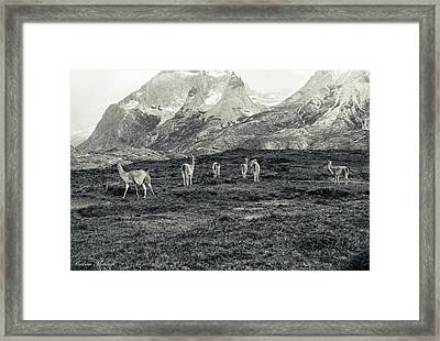 The Lamas Framed Print by Andrew Matwijec