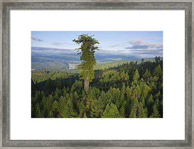 The Largest Patch Of Old Growth Redwood Framed Print by Michael Nichols