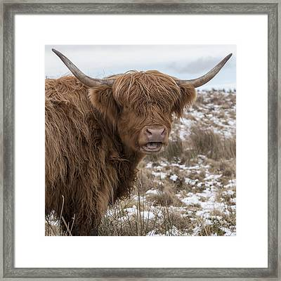 The Laughing Cow, Scottish Version Framed Print