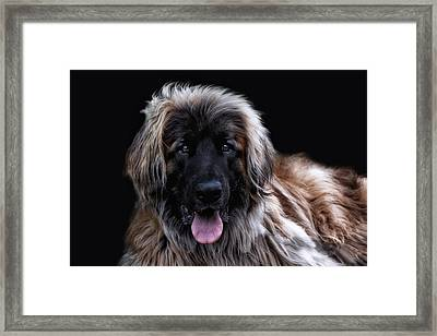The Leonberger Framed Print by Joachim G Pinkawa