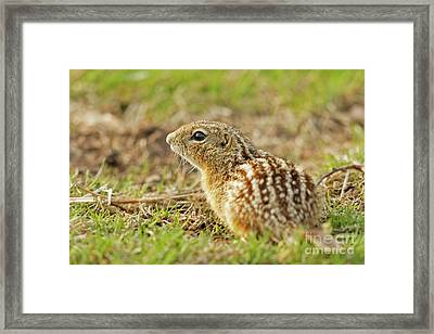 The Leopard Ground Squirrel Framed Print by Natural Focal Point Photography