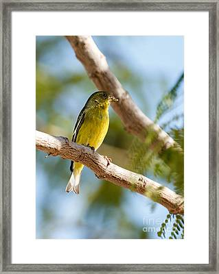 The Lesser Goldfinch Framed Print