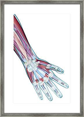 The Ligaments Of The Hand Framed Print by MedicalRF.com