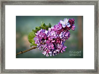 The Lilac Framed Print by Julia Hassett