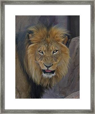 The Lion Dry Brushed Framed Print by Ernie Echols