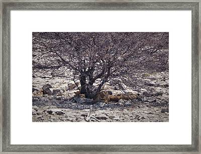 The Lion Family Framed Print by Ernie Echols
