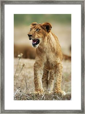 The Lion King Framed Print by Yuri Peress