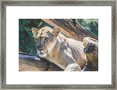 The Lioness Framed Print by David Collins