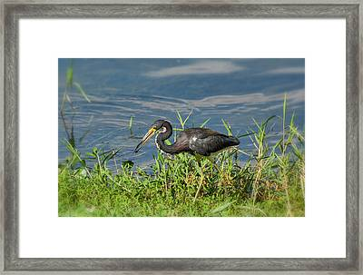 The Little Tri-colored Heron  Framed Print