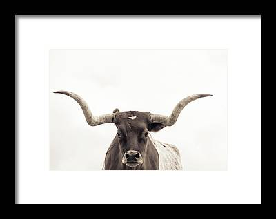 Longhorns Framed Prints