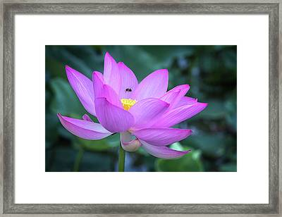 Framed Print featuring the photograph The Lotus And The Bee by Cindy Lark Hartman