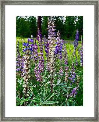 The Lupine Crowd Framed Print