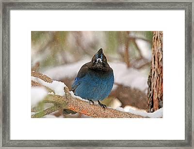 The Mad Blue Jay Framed Print