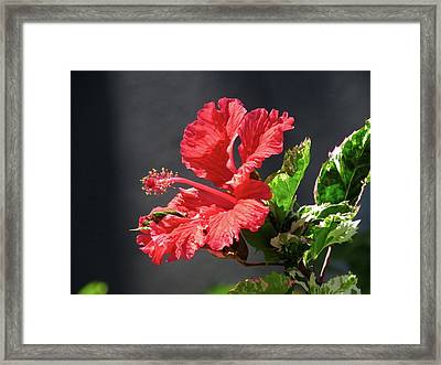 The Mallow Hibiscus Framed Print