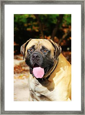 The Mastiff Framed Print by Rae Anna Frame