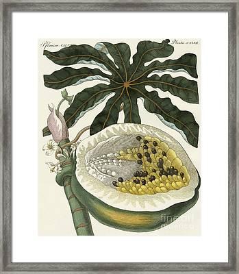 The Melon Or Papaya Tree Framed Print