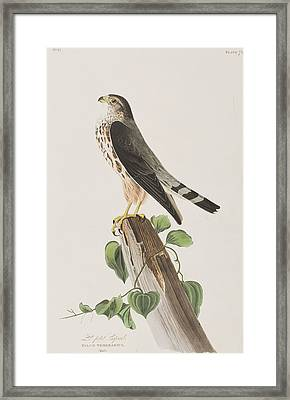 The Merlin Framed Print by John James Audubon