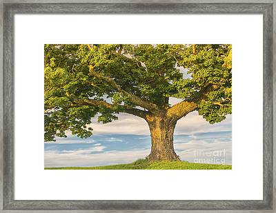 The Mighty Maple Framed Print