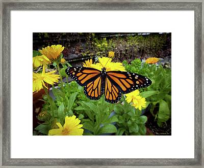 The Mighty Monarch  Framed Print