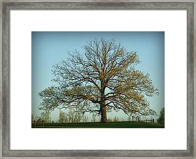 The Mighty Oak In Spring Framed Print