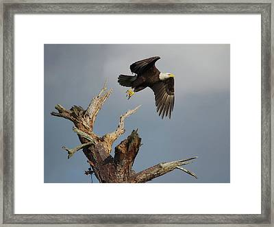 the Mighty Ozzie. Framed Print