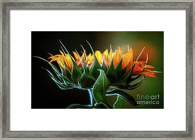 The Mighty Sunflower Framed Print