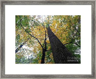 The Mighty Tulip Popular State Tree Of Indiana Framed Print