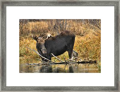The Moose And The Branch Framed Print