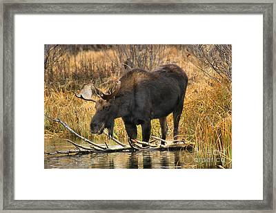 The Moose And The Log Framed Print