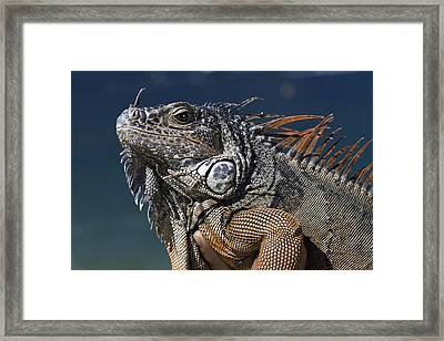 The Night Of The Iguana Framed Print